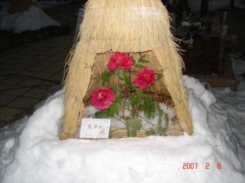 冬ぼたん祭りin高畠