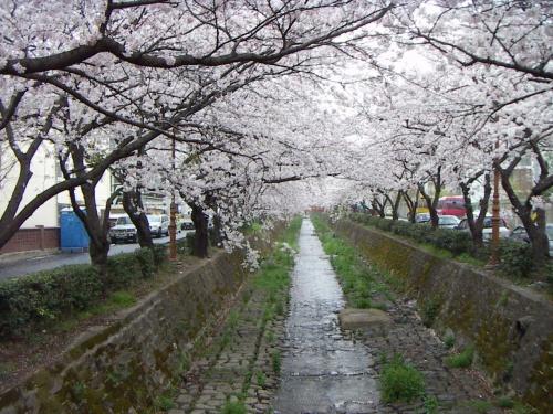 3/31に釜山と竜宮寺、4/1に鎮海の軍港祭行って来ました~<br />とりあえず、鎮海の桜の写真をup。ゆっくり更新させてください~