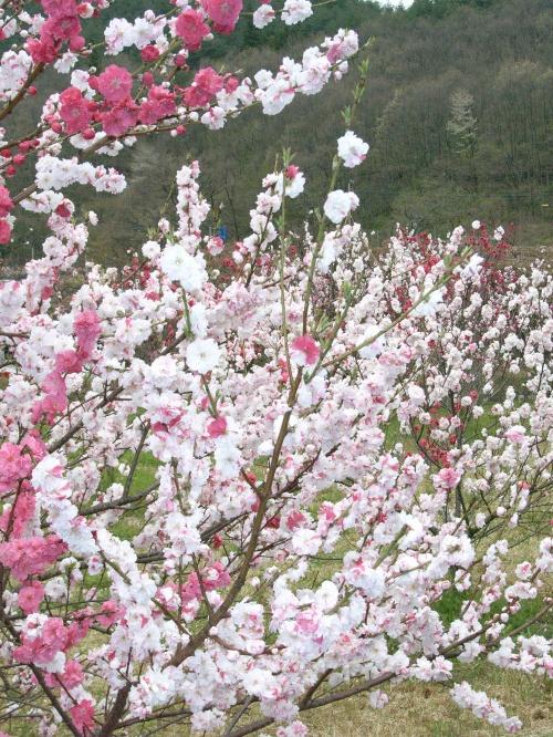 花桃の里と開善寺