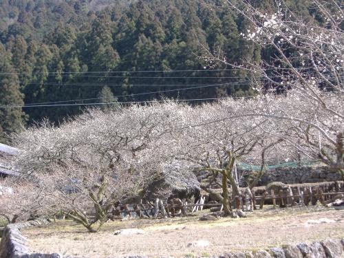川売(かおれ)の梅、四谷の千枚田を見に行きました。