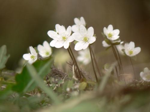 春の岡山花紀行 その2 草間台地の雪割草
