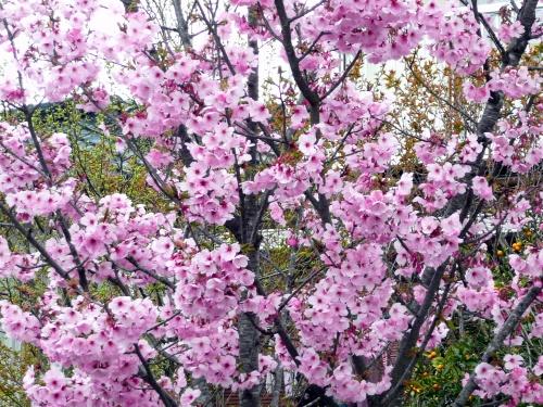 春♪爛漫にさくらを求めて彡