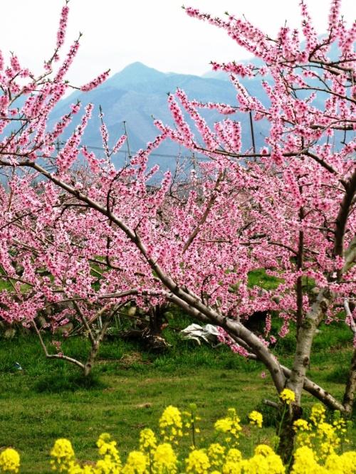 桃花里-3 花のトンネルを抜けて ☆菜花咲く桃園は駅近くまで