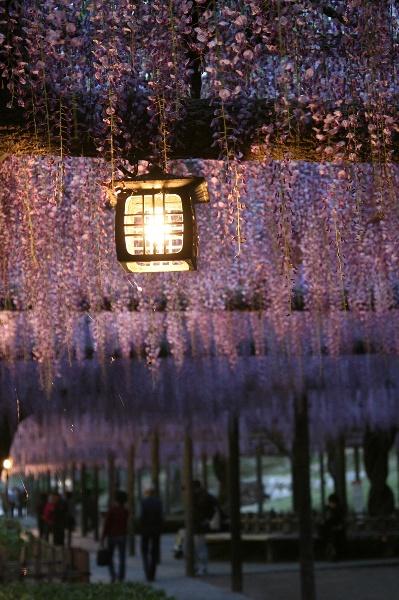 小さな旅●尾張津島・藤まつり