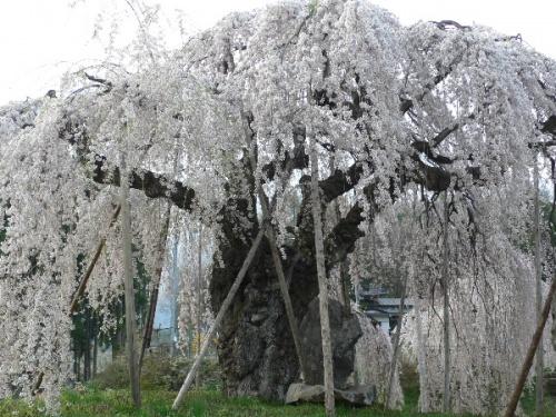 信州で遅い春を満喫?・・・飯綱町の水芭蕉・桜・桃の花(丹霞郷)