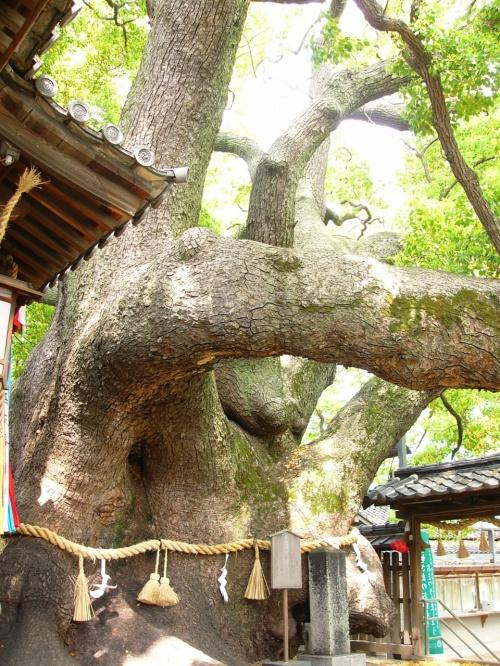 大阪府NO.1の巨木 門真市「三島神社の薫蓋樟(クンガイショウ)」の巨木ツアー