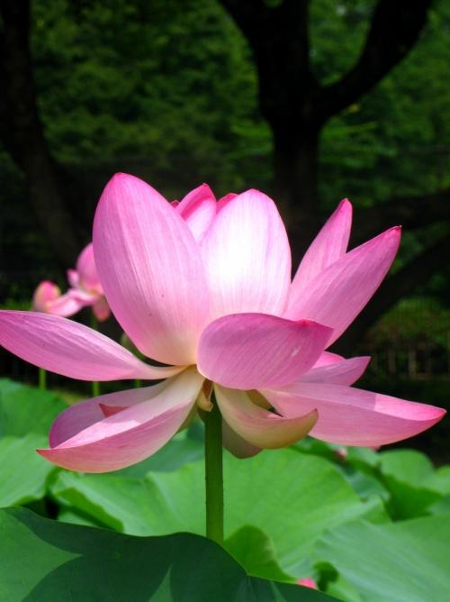 大賀ハスの花咲く:千葉公園で ☆弥生時代のロマン伝えて