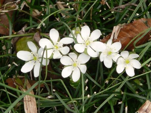 岡山県北花めぐり ? 草間台地の雪割草