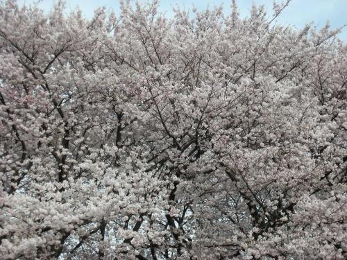 善福寺の桜のドーム