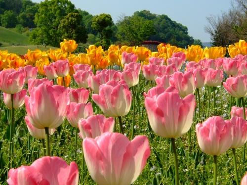 春のまんのう公園、花盛り~ヽ(^o^)丿