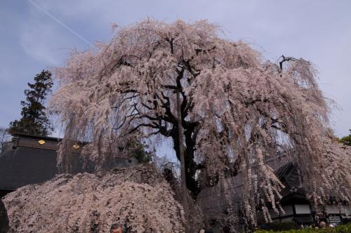 甲斐の名桜を訪ねる ~塩山・慈雲寺の糸桜~