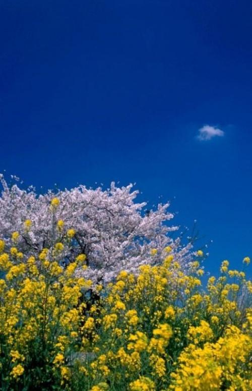 """桜と湖沼にある日本唯一の有人島""""沖島"""""""