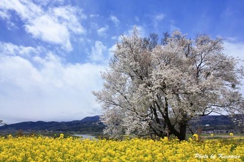菜の花と桜、千曲川、斑尾山。。菜の花公園は唱歌「ふるさと」、「おぼろ月夜」に歌われた地。/長野県飯山市~野沢温泉村、「いいやま菜の花まつり」