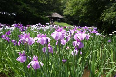 梅雨の晴れ間、明治神宮の花菖蒲を愛でに出掛けました。<br />御苑に咲き競う150種類の花菖蒲は6月中旬が見ごろだそうですが、7月上旬までは楽しめるようです。<br /><br />この日は、お日柄もよく、何組もの結婚式が行われていました。<br />