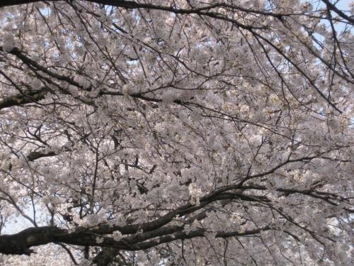 一目千本桜と白石城・・・温麺はどこ!?