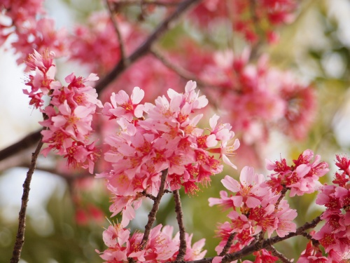 2010年3月 春に誘われて、ふらっと横浜八景島シーパラダイスのオカメザクラ見物