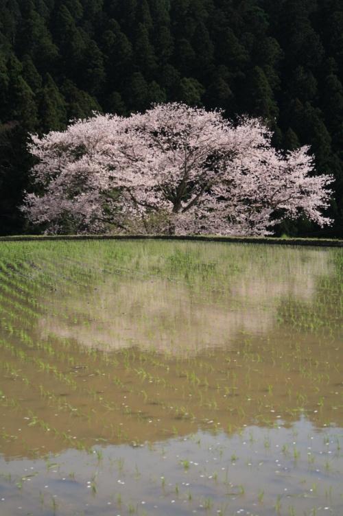 2010年 桜の頃に・・・【諸木野の桜】