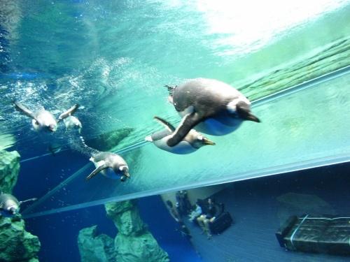 【石見路002】しまね海洋館「アクアス」で育児中のシロイルカ(撮影禁止)とペンギンたちに会う