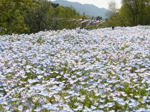 讃岐花めぐり その2 まんのう公園のネモフィラ