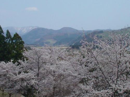 青森県 黒石市 こみせ通りとさくらまつり