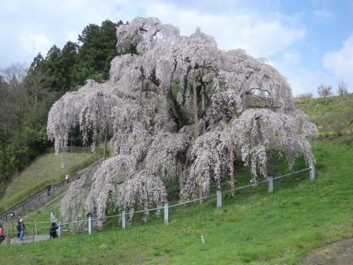 満開の三春の桜を見に福島へ 1日目