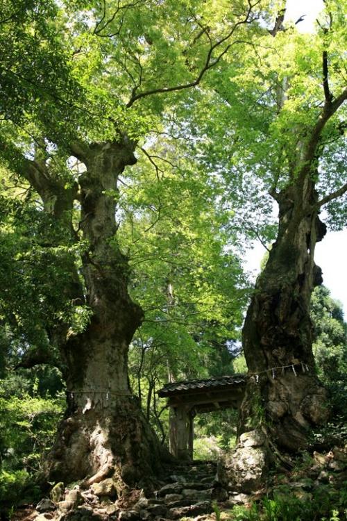 車で滋賀 ★菅原道真公お手植と伝わる菅山寺山門の欅の大木
