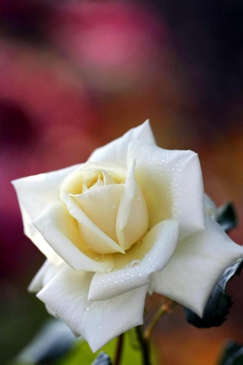 ひとり旅 [734] 色とりどり美しい薔薇の花<蜂ケ峯総合公園のバラ園>山口県玖珂郡和木町
