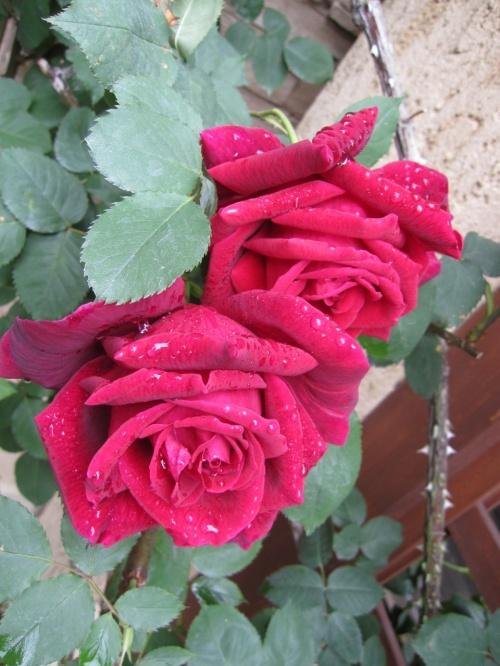 Rose  Garden☆ & チャリティーコンサート♪