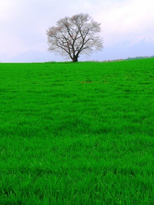 けびぞーと行く桜巡り③ 「小岩井農場の一本桜」