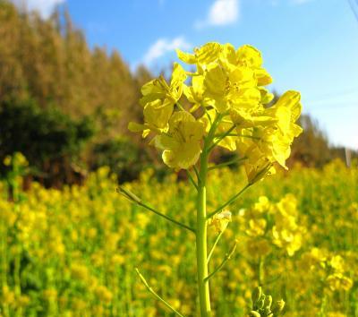 菜の花半島は一面の黄色♪