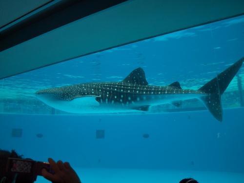 横浜八景島シーパラダイスでジンベエザメを見て癒されて来ました♪ 2011年3月