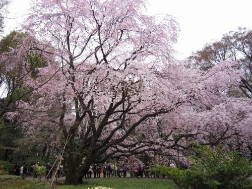 六義園の枝垂れ桜を見てきました<br />天気がぱっとしなくてとても寒かったですが<br />人は沢山来ていました<br /><br />六義園には5年ぶりぐらいかな<br />以前と変わらないみごとな枝垂れ桜で<br />少し元気をいただきました<br />