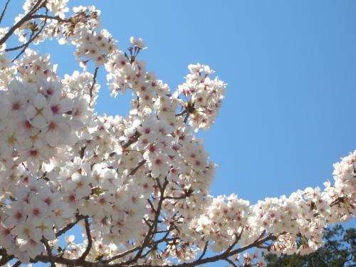 桜・春の花を求めて ドライブ
