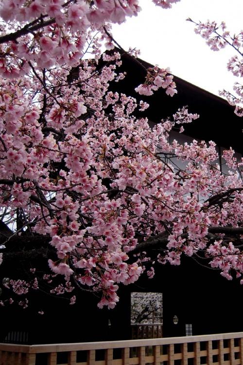 京の桜の穴場!渉成園♪入手困難ロールケーキの穴場!GOSPEL♪♪