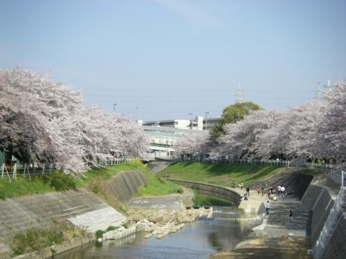 先週は3分咲きでしたが、今週は満開でした。<br />しかも、よく晴れました。<br /><br />おかげでいっぱい花見で散歩している人がいました。<br /><br />2011(先週)<br />http://4travel.jp/traveler/utzutz/album/10556388/<br />2010<br />http://4travel.jp/traveler/utzutz/album/10445448/<br />2009<br />http://4travel.jp/traveler/utzutz/album/10323729/<br />2008<br />http://4travel.jp/traveler/utzutz/album/10230500/<br />2007<br />http://4travel.jp/traveler/utzutz/album/10137929/<br />2005<br />http://4travel.jp/traveler/utzutz/album/10021229/<br />2003<br />http://www.geocities.jp/utz2005/PHOTO/kanaresakura/kanaresakura2003.htm
