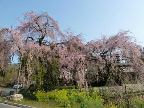 よくばりなお花見ドライブ≪3-1≫~広島市佐伯区・神原のしだれ桜~