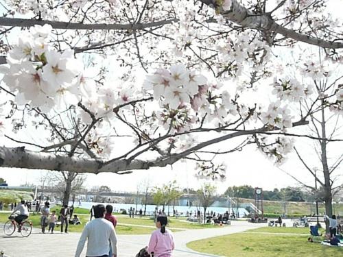 孫と一緒に桜満開の深北緑地公園へ(^^♪