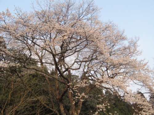 1500年の時を越えて…淡墨桜満開 ~2011、春~