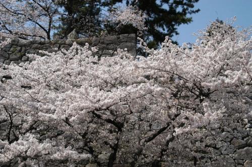 松阪公園のサクラ