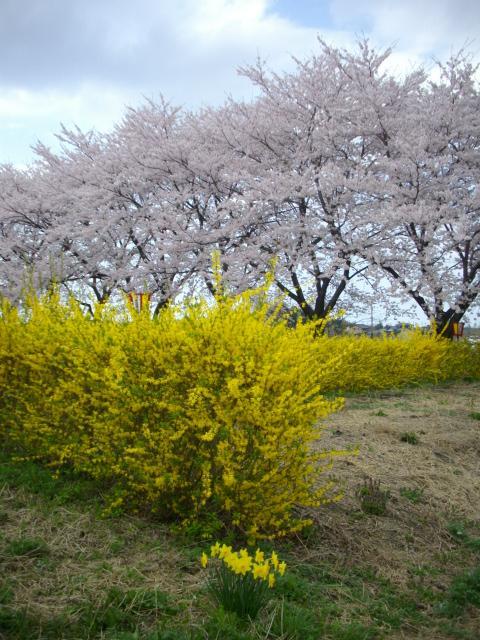 11/04 桜が満開♪@加治川@