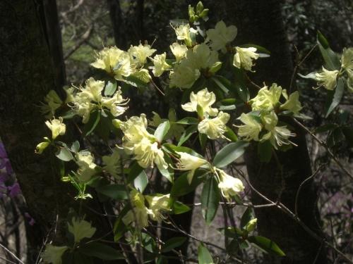 春爛漫 ヒカゲツツジ咲く坪山へ。