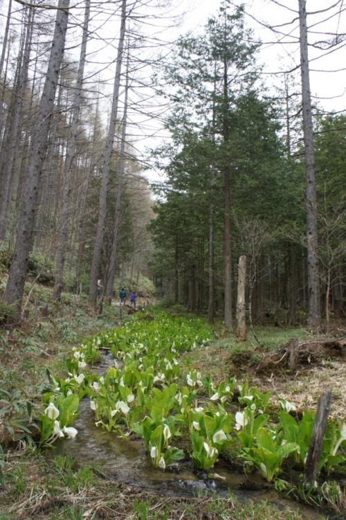 母の日に贈る*南信州・天空の楽園からの癒し* 森林セラピーガイドさんと巡る旅 後編(水芭蕉と森林セラピーをたのしむ )