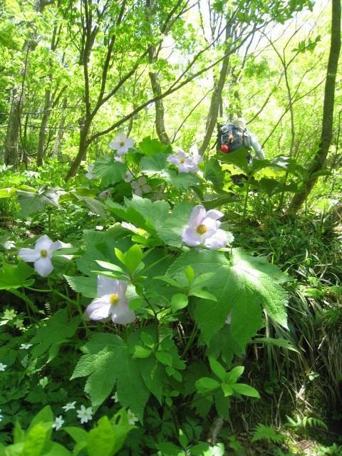 「花の百名山をあるく」 大佐渡縦走トレッキング その①  アオネバ登山口→ドンデン山荘コース