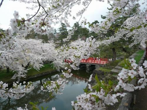 2011GW~満開の桜に包まれた弘前公園
