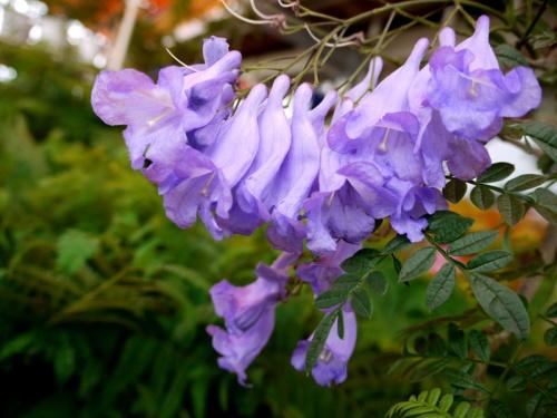 世界三大花木「ジャカランダの花」と北郷温泉の旅2日間 2−2 (サンメッセ日南・ジャカランダの花・鵜戸神宮編)