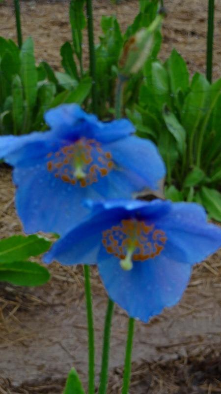 南アルプスの青いケシの花