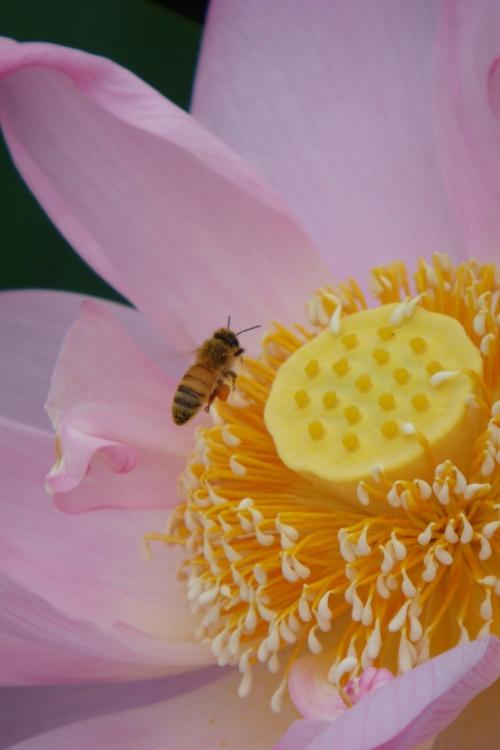 愛西市蓮の花 咲き乱れて夏到来!