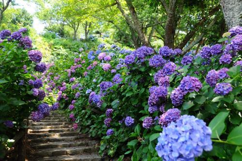 伊豆下田に紫陽花を観に行く