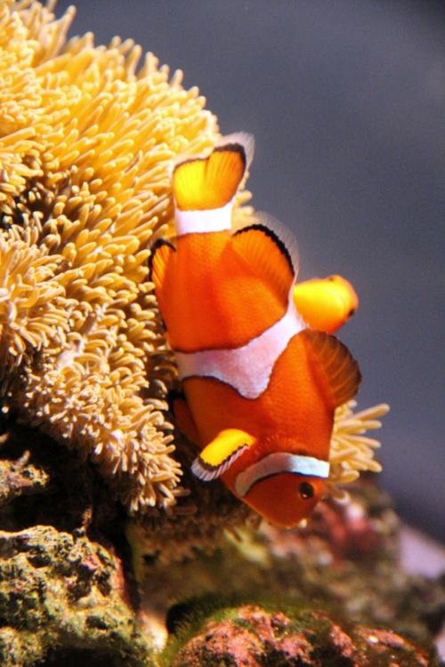 Solitary Journey [927] ささやかなひととき…オレンジ色の体に3本の白い帯、カクレクマノミを観賞(*^^*)/~<海洋館AQUAS>島根県浜田市