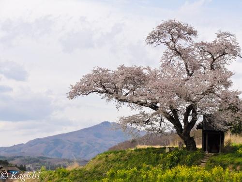 中通りの桜の名所